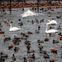 Водоплавающие зоопарка перебрались в пруд с подогревом! :: Татьяна Помогалова