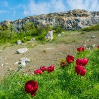Цветение пиона в Красной Балке :: Светлана Андрюшина