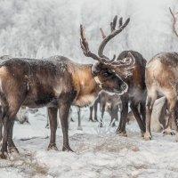 Из жизни северных оленей :: Yuri Mekhonoshin