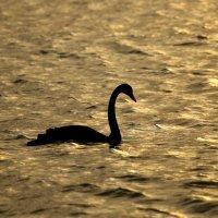 Лебедь в Черном море-отстал от стаи :: valeriy khlopunov