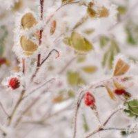 Шиповник в зимнем ахромате :: Андрей Селиванов