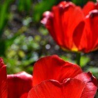 Тюльпаны :: Юлия Копытова