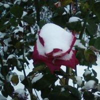Роза и снег :: Dana