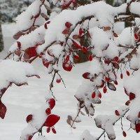 Барбарис под снегом :: Надежд@ Шавенкова