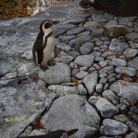Пингвин :: Ольга