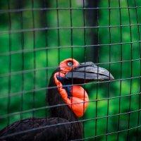 Кафрский (южный) рогатый ворон :: Игорь Осипенко