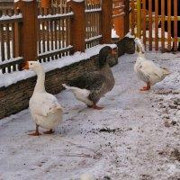 Три весёлых гуся. :: ТАТЬЯНА (tatik)