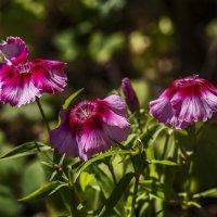 цветы июня :: gribushko грибушко Николай