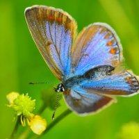 Бабочка голубянка :: Константин Анисимов