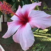 Гибискус гибридный (Hibiscus hybrida) :: Tamara *