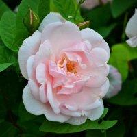 Роза :: Константин Анисимов