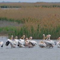 Розовые пеликаны. :: - Lanin