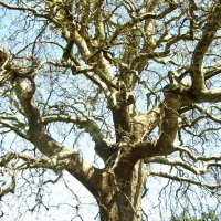 Орнамент обнаженного дерева :: татьяна