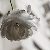 Зимняя роза :: Ирина Комолова