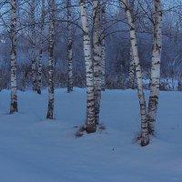 И стоят березки в зимних сумерках...... :: Павлова Татьяна Павлова