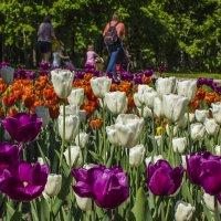 весенняя прогулка, в тюльпановом раю. :: Петр Беляков