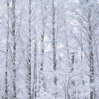 снежные березки :: Лера