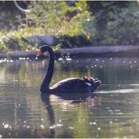 Чёрный лебедь :: Максим Минаков