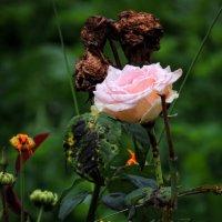 Роза :: Роман Савоцкий