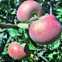 Яблочки :: Алла ZALLA