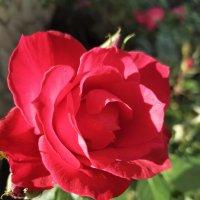 Январская роза :: Александр Деревяшкин