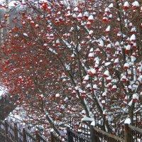 рябина в снегу :: Alisa Koteva