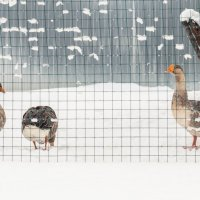Гуси в снегу :: Александр Долгов