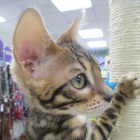 Котёнок бенгальский. :: Зинаида