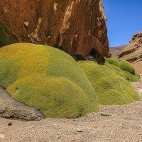 Ярета или каменный мох :: Георгий А