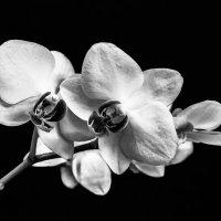 Орхидея :: Максим Максимов
