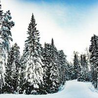 Хвойный лес зимой :: Валерий Сергеев