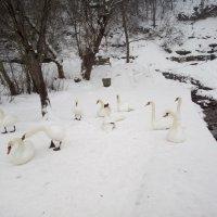 Приехали покормить лебедей :: BoxerMak Mak