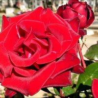 Воспоминание о розе... :: Нина Корешкова