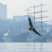 Орланы-белохвосты прилетели во Владивосток на зимовку :: Эдуард Куклин