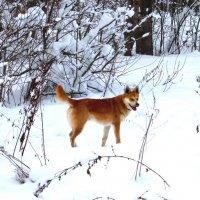 Рыжий пёс на белом снегу :: Андрей Снегерёв