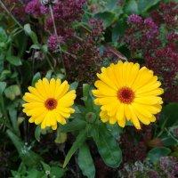 Осенние цветы - календула :: Маргарита Батырева