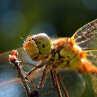 Портрет стрекозы... :: Александр Фролов