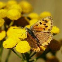 опять про рыжих бабочек...3 :: Александр Прокудин