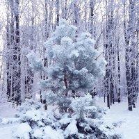 Маленькой сосенке  холодно зимой ... :: Лариса Корж