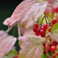 Калина красная :: Лето Теплое