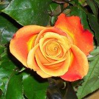 Расправив лепестки как крылья, сгорает роза без остатка :: Daria Vorons