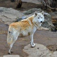 Волк :: Константин Анисимов
