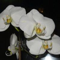 Белоснежная орхидея вечером :: Натала ***
