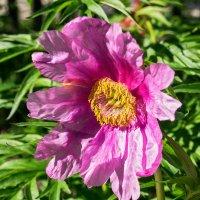 Самый любимый цветок Республики Коми. :: Николай Зиновьев
