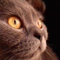 Марс_кот. Любимый британец :: Ирина