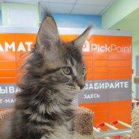 Котёнок мейн куна. :: Зинаида