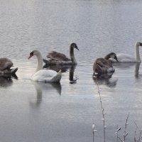 Лебеди на Голубом озере :: Маргарита Батырева