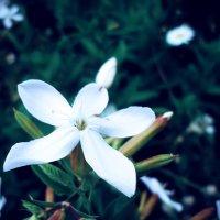 Цветок :: Виктория Власова