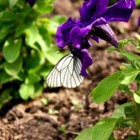 Бабочка :: Елена Черных