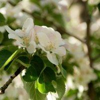 Цветет яблоня :: Алексей Кудрявцев